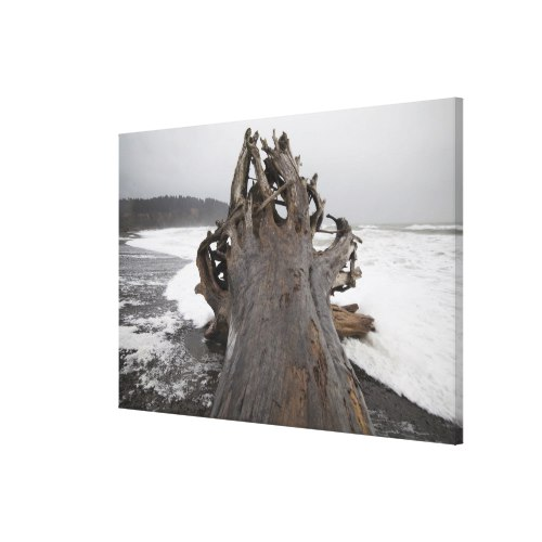 A giant tree, come ashore as driftwood, on First Canvas Print